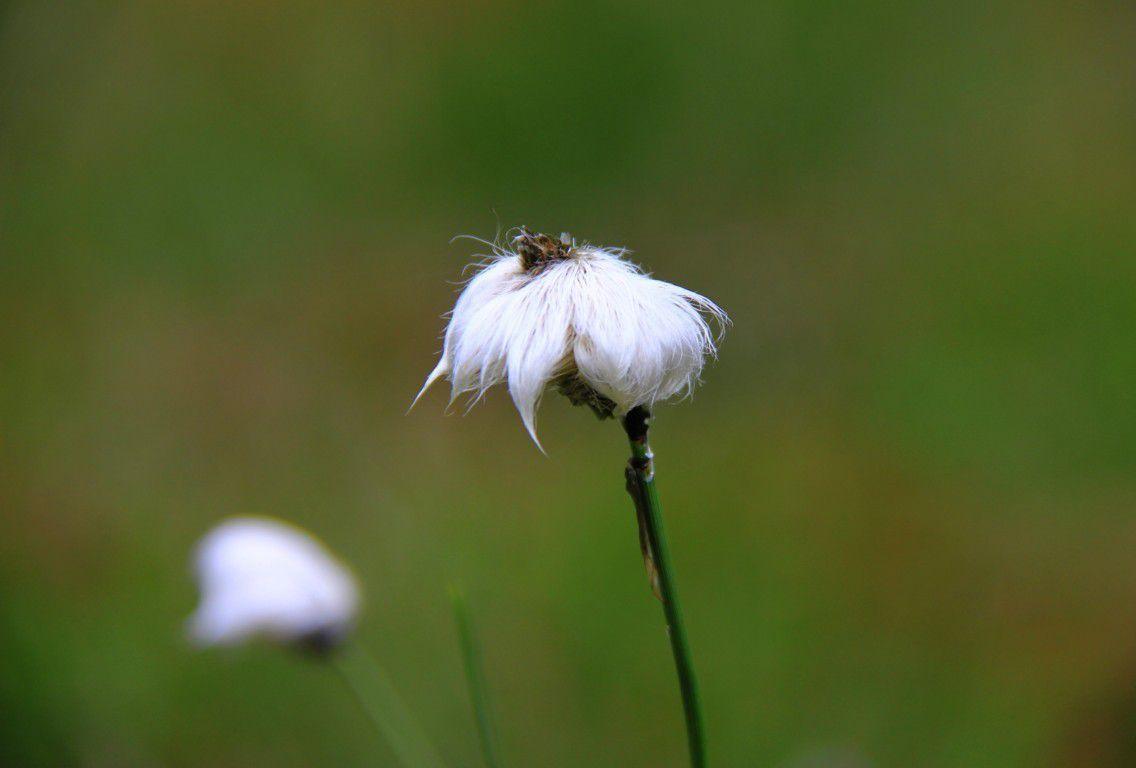 Linaigrette, une fleur typique de ce milieu pauvre et humide.