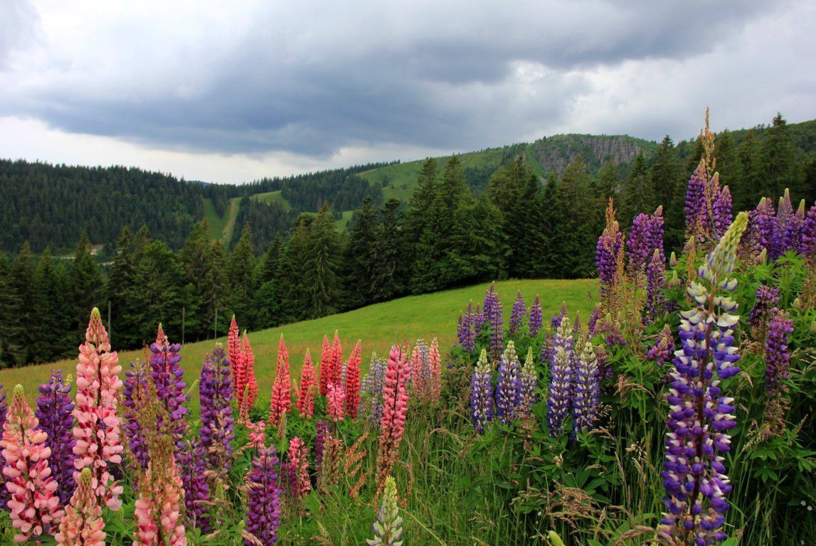 Lupins et nuages sombres...