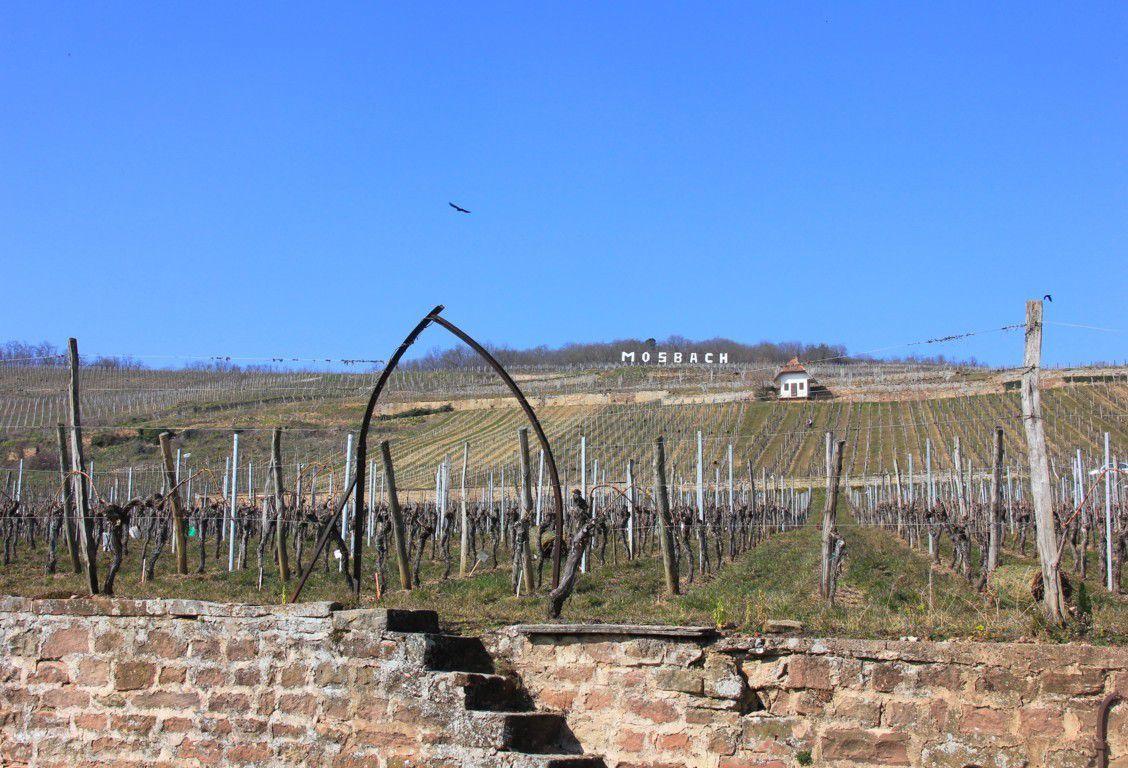Le Marlenberg est recouvert de vignes.