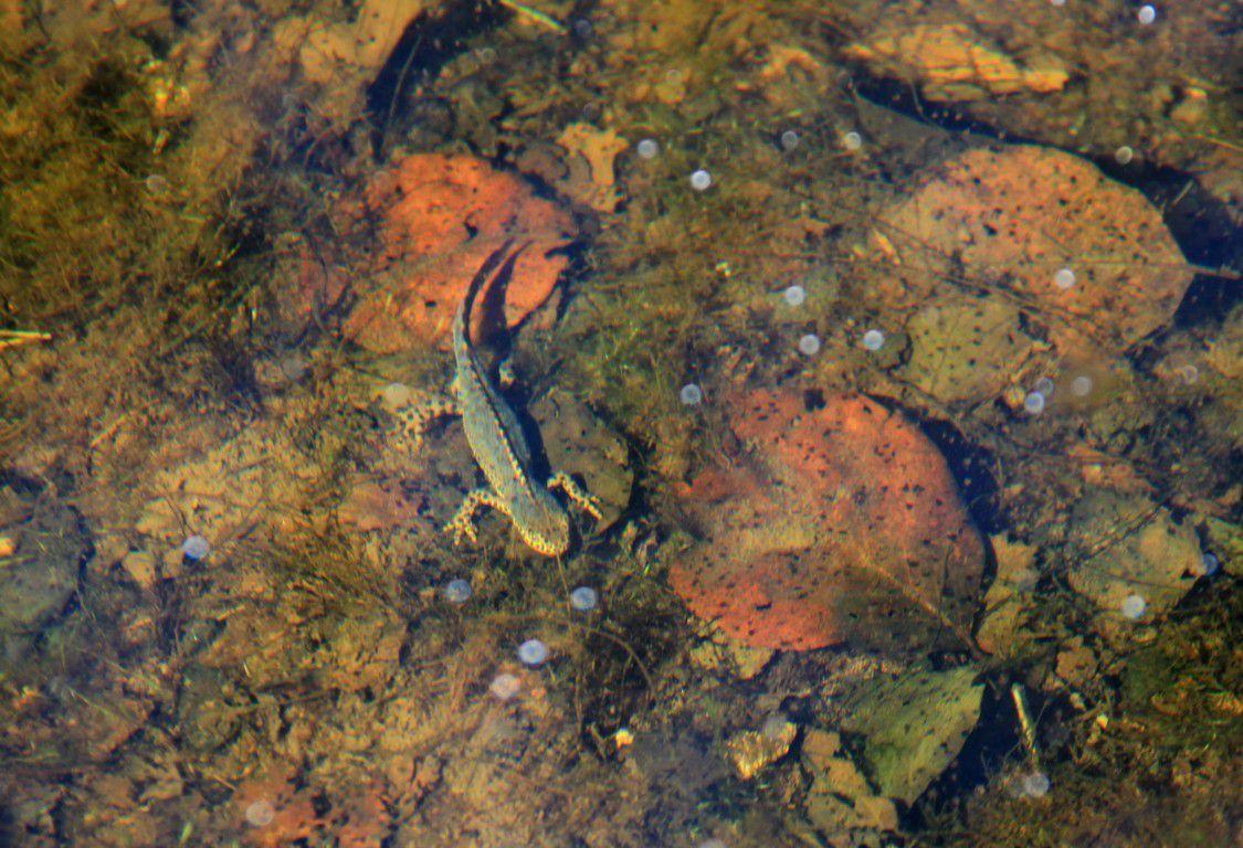 De nos jours, les tritons se plaisent bien dans le bassin...
