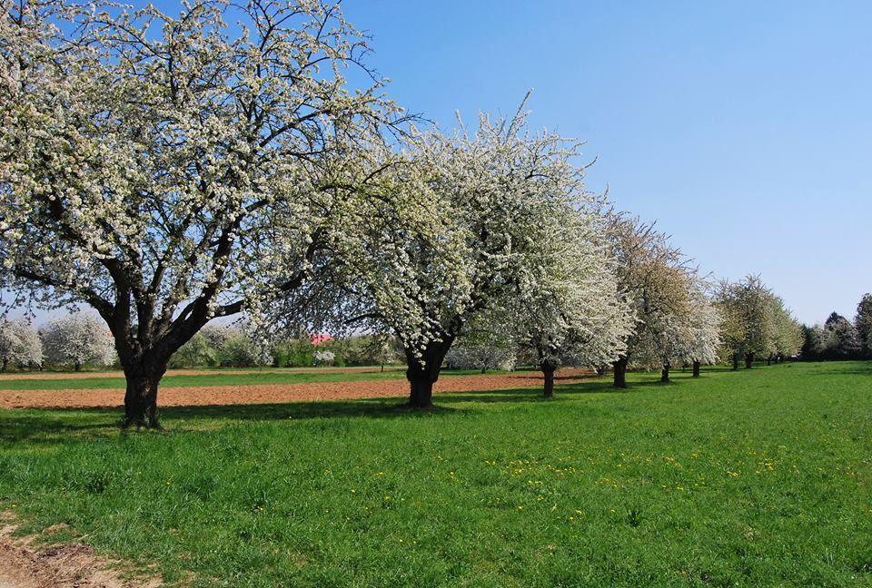 Les allées de cerisiers couvrant le versant Nord du Bischenberg