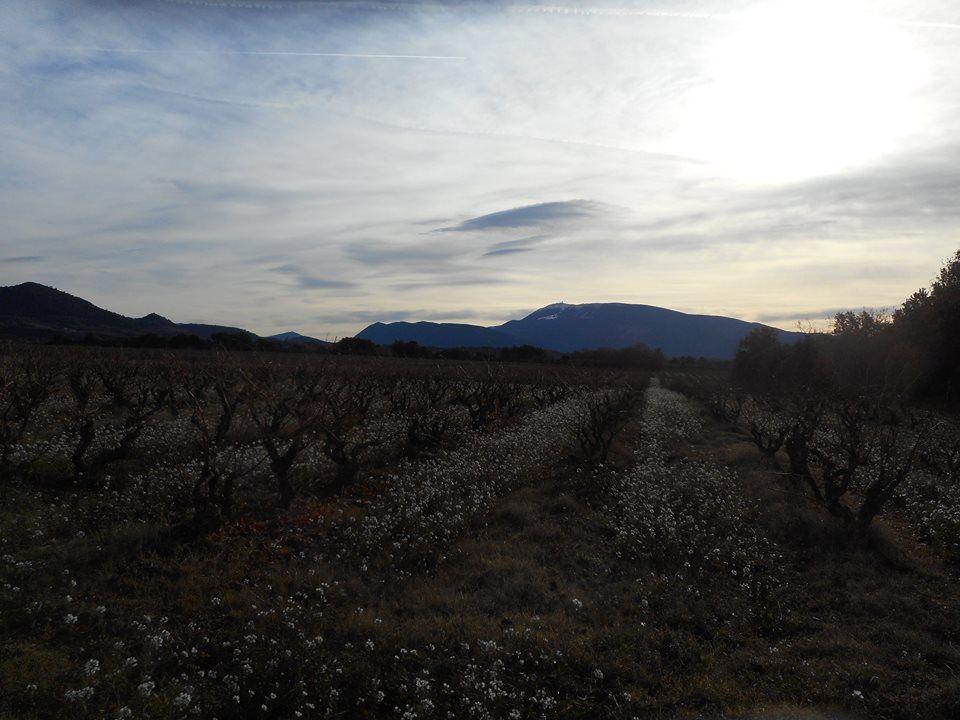 belle vue à travers vignes du Mt Ventoux