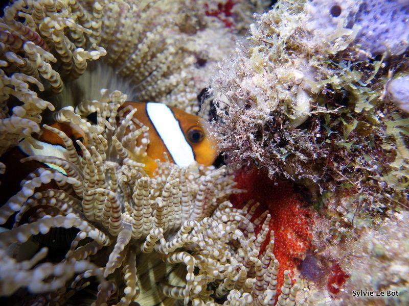 Anémone collier de perles/Heteractis aurora-Poissons-clowns/Amphiprion clarckii-oeufs