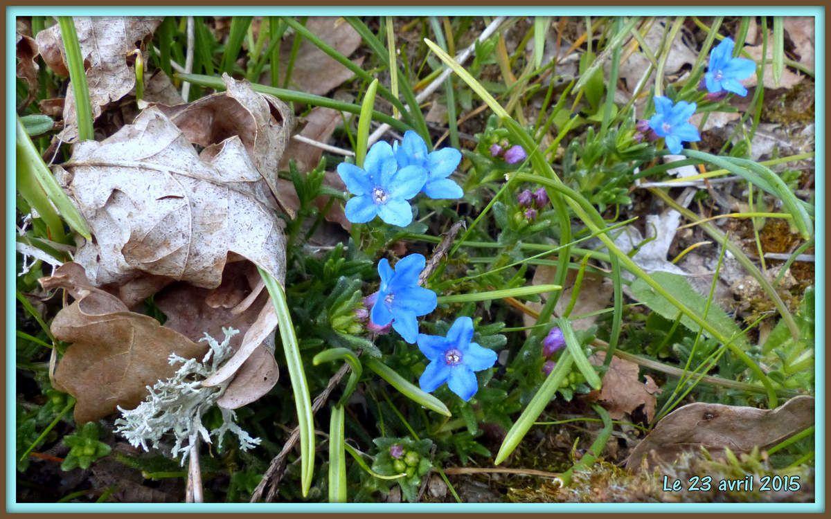 """""""Heavenly blue"""" -  Très vieux plants à remplacer. Ce bleu est de toute beauté. Ma photo ne le restitue pas."""