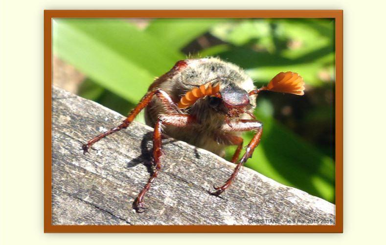 Dimorphisme sexuel : 7 feuillets pour les antennes du mâle et 6 pour celles de la femelle. C'est très net sur la 4ème photo. Pas d'autres particularités spécifiques à l'un ou l'autre sexe.
