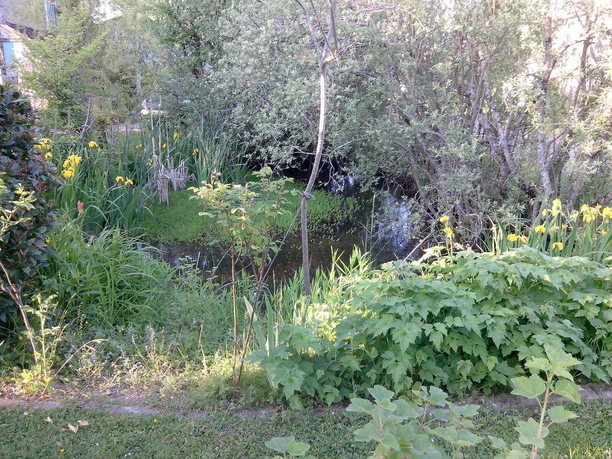 Iris des marais dans la mare aux aulnes