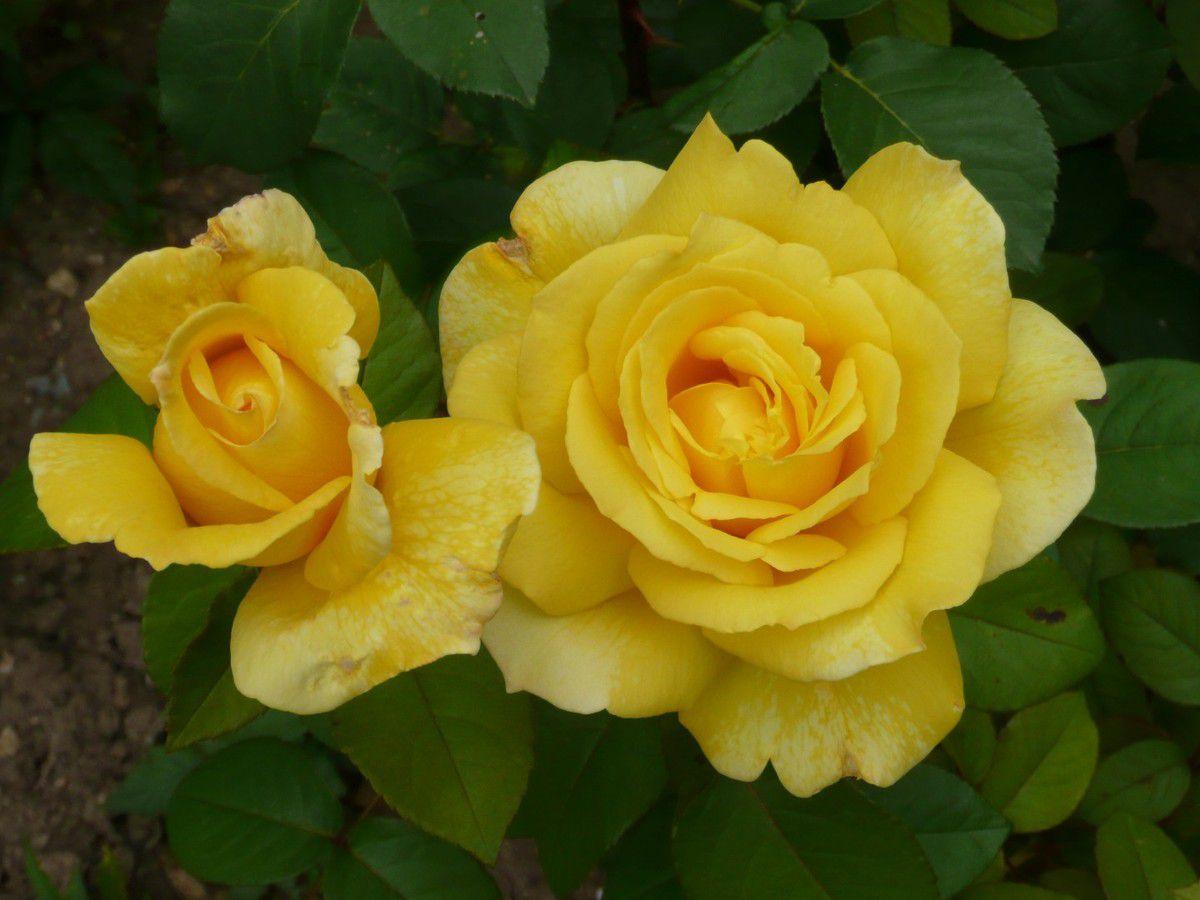 Nuance de jaune le blog de manel for Offrir des roses