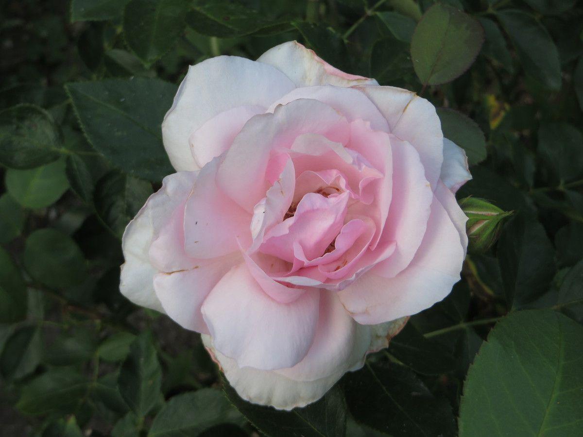 De jolies roses ...