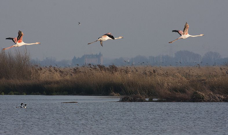 5 flamants roses