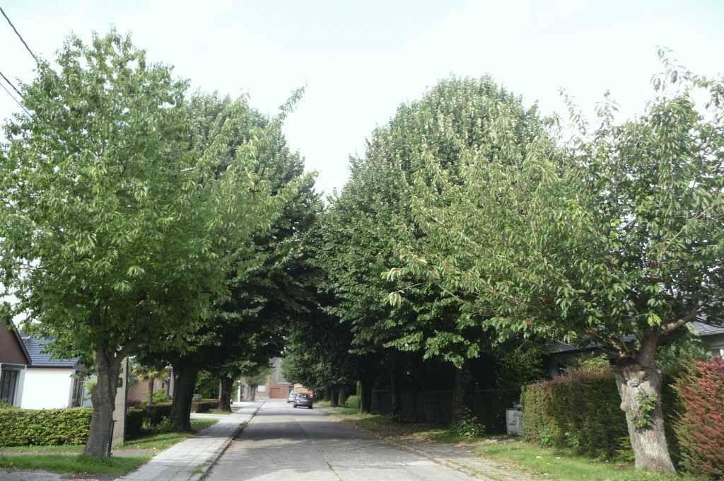 carence récurrente dans l'entretien des arbres jonchant la rue de la Crête à Chapelle-lez-Herlaimont