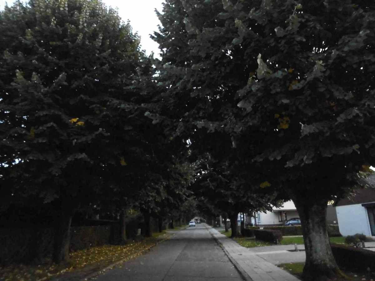 arbres non élagués depuis plus de 10 ans à la rue de la Crête à Chapelle-lez-Herlaimont