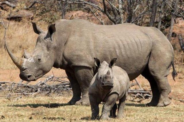 Le massacre des rhinocéros s'est accéléré en Afrique du Sud...