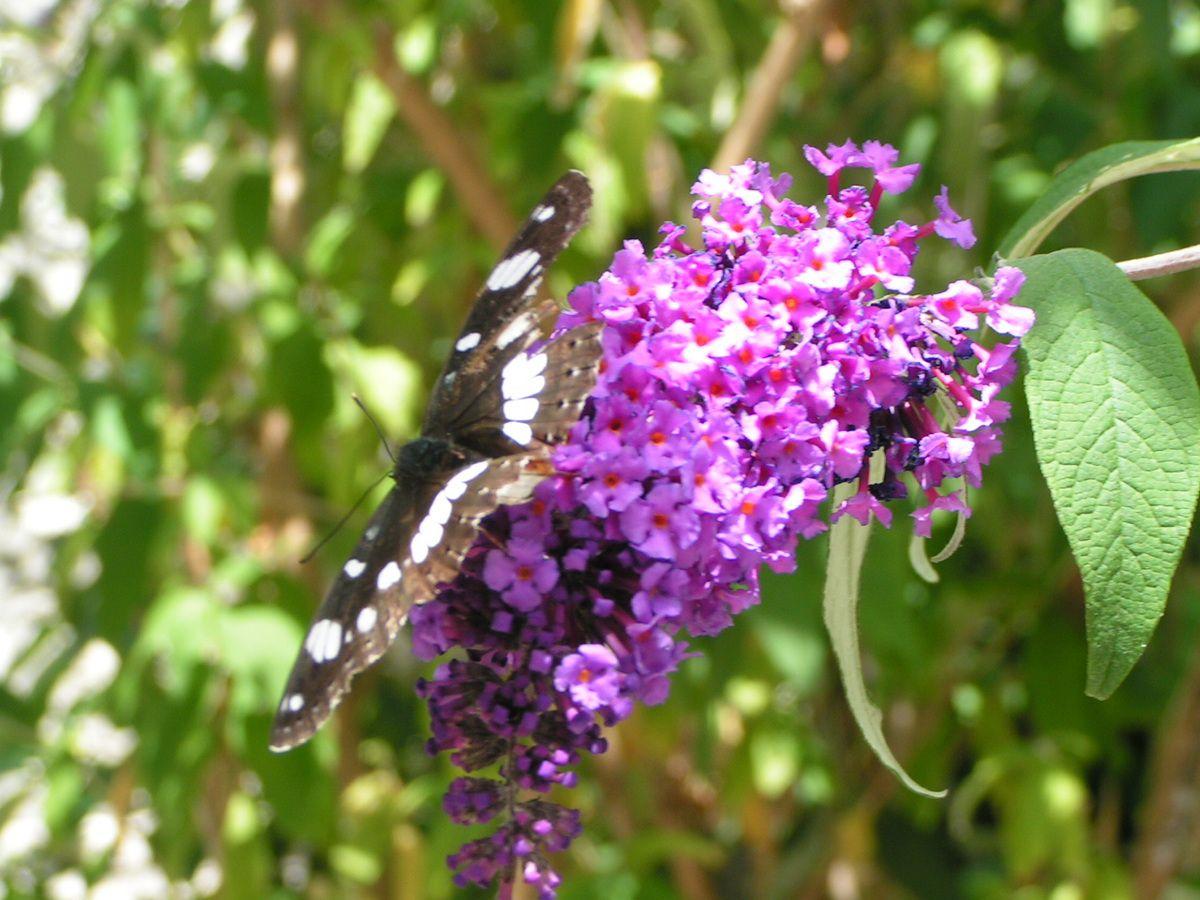Un papillon sur une fleur le jardin de roselyne for Jardin hamel papillon 2016