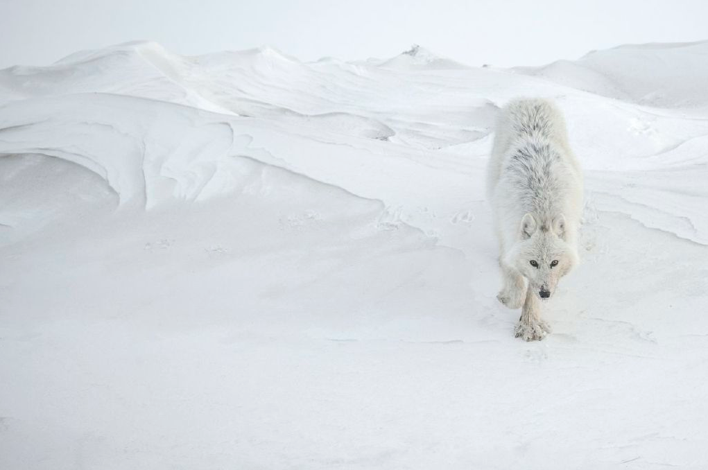 Photo Vincent Munier - Loup blanc