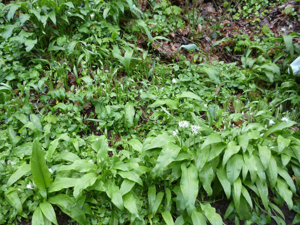 Forêt Régionale de Montgé en Goële : l'ail sauvage