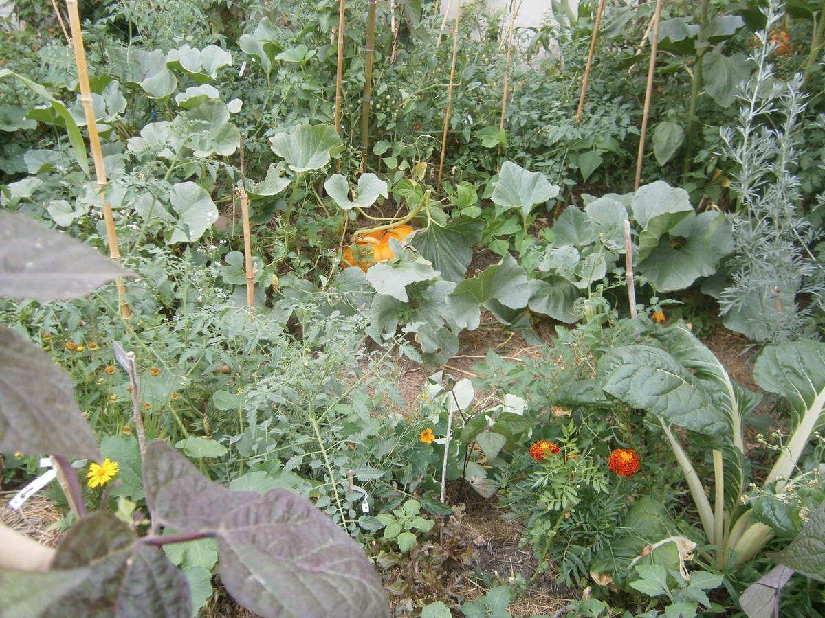 Les citrouilles du jardin guinguette de la dhuys for Jardin permaculture 2015