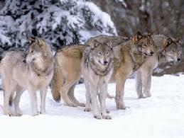 Le gouvernement autorise la destruction de deux loups supplémentaires