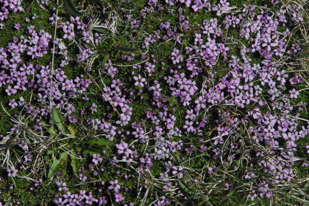 Les fleurs ne sont pas fréquentes mais à des endroits parfois inatendus on en trouve proches de notes minuscules en petites nappes circulaires. Ce sont les bouquets végétaux de l'Islande.