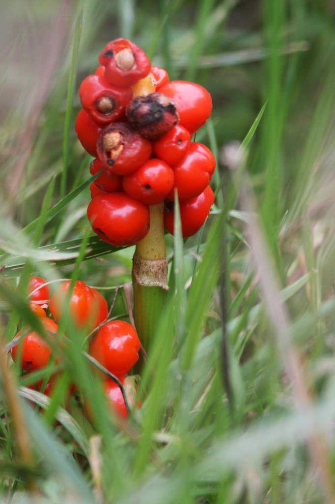 Fleur du jour : le Gouet maculé