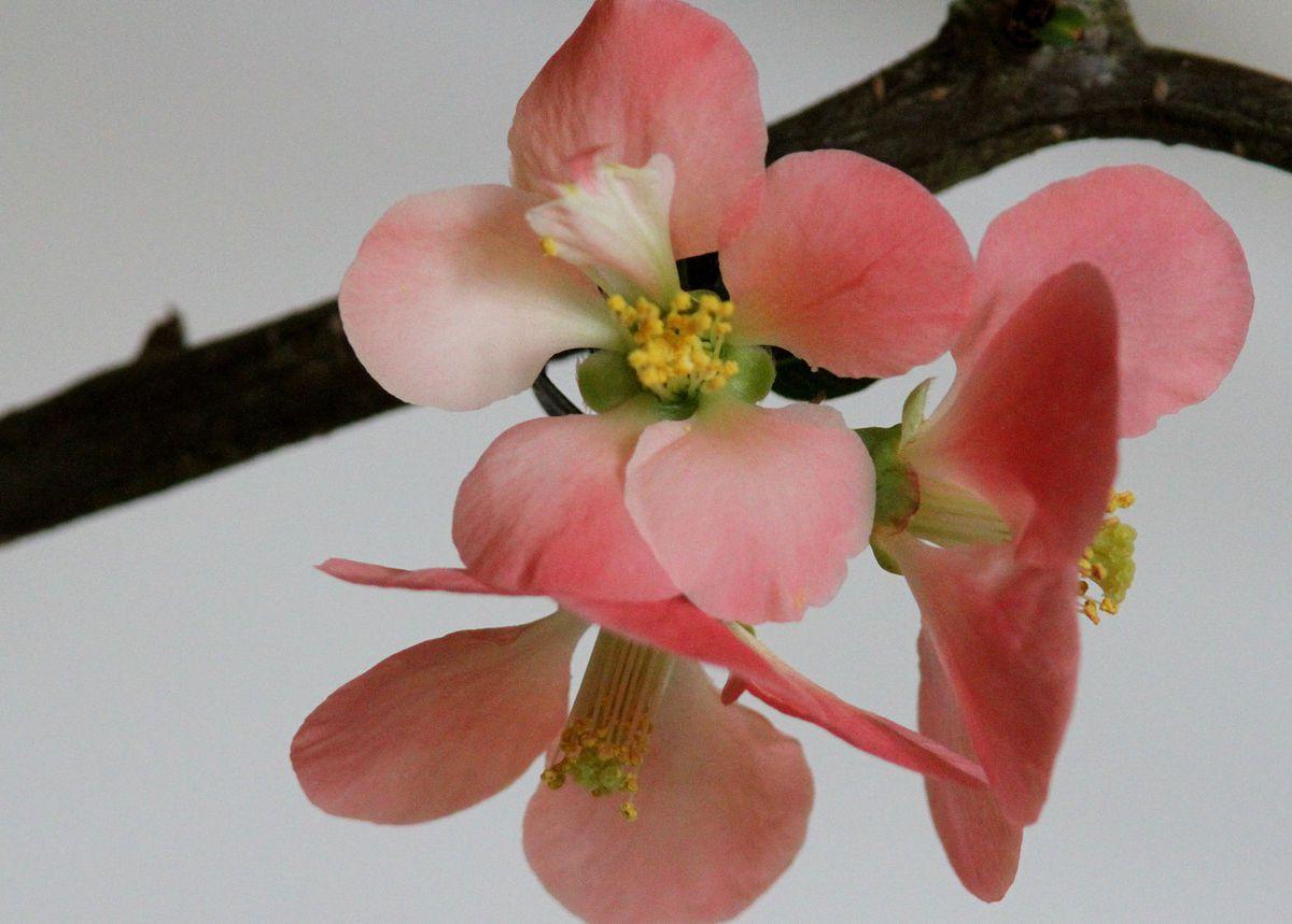 Fleur du jour : l'Hellébore (ou le Cognassier du Japon ?)