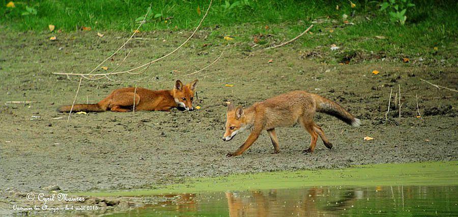 Les renardeaux de Courpain