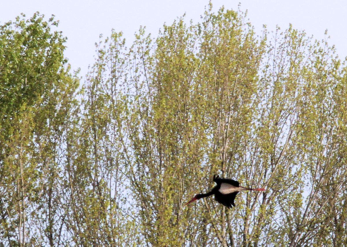 Le passage de la Cigogne noire