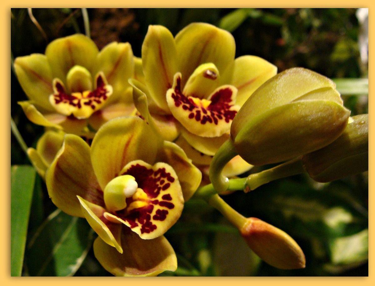 RONDE DES ORCHIDEES