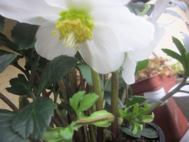 et le sourire d'une rose de Noël et la promesse d'autres fleurs !!!!!