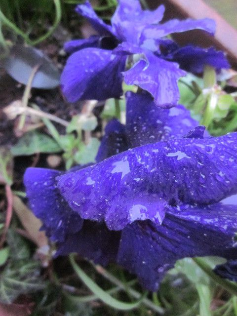 ma belle pensée bleue et toujours les hellébores .....