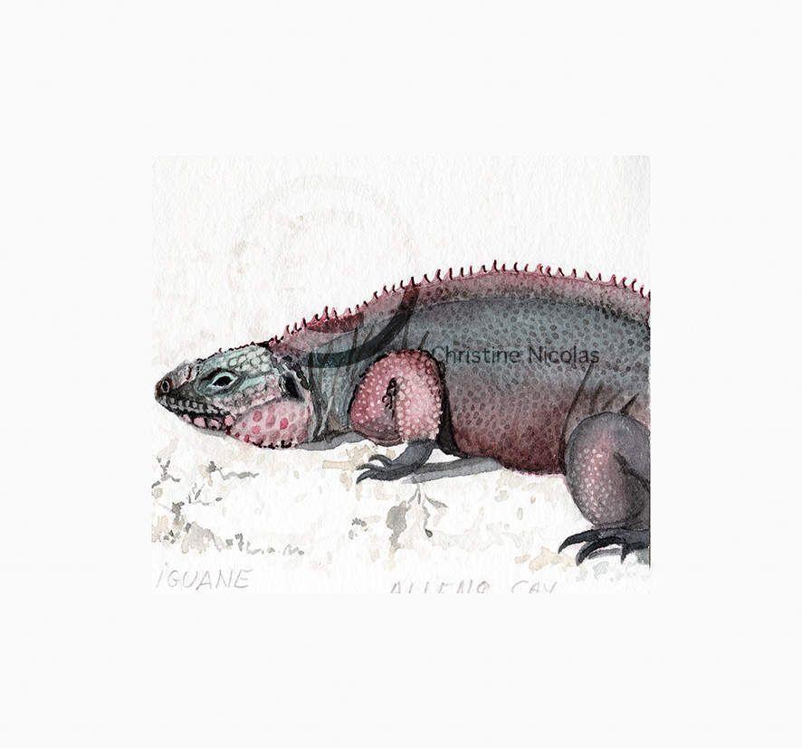 BAE022 - Iguane -  Allens Cay