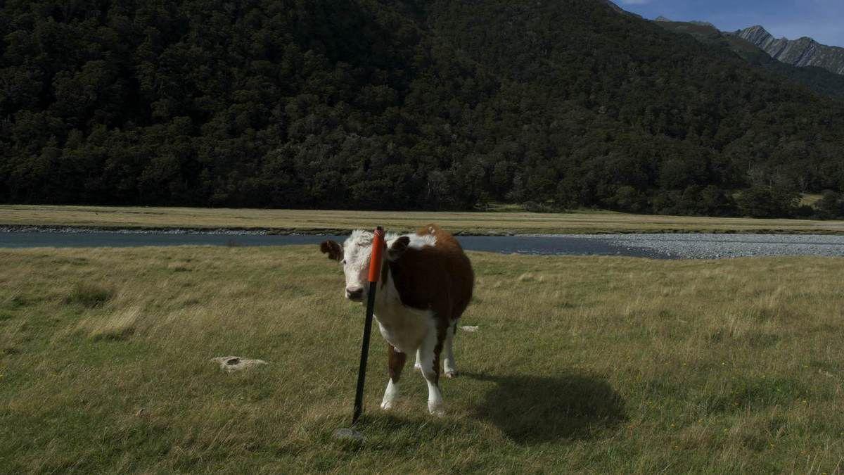 cache cache avec la vache