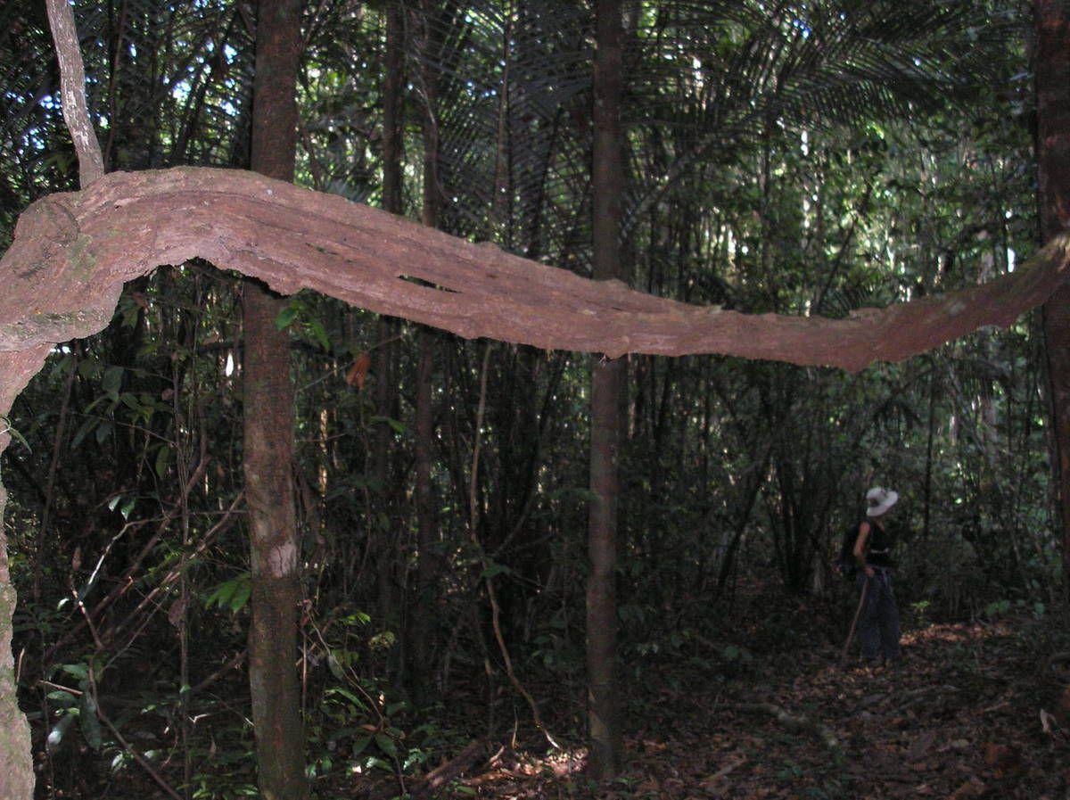 Promenade dans la forêt d'Apatou