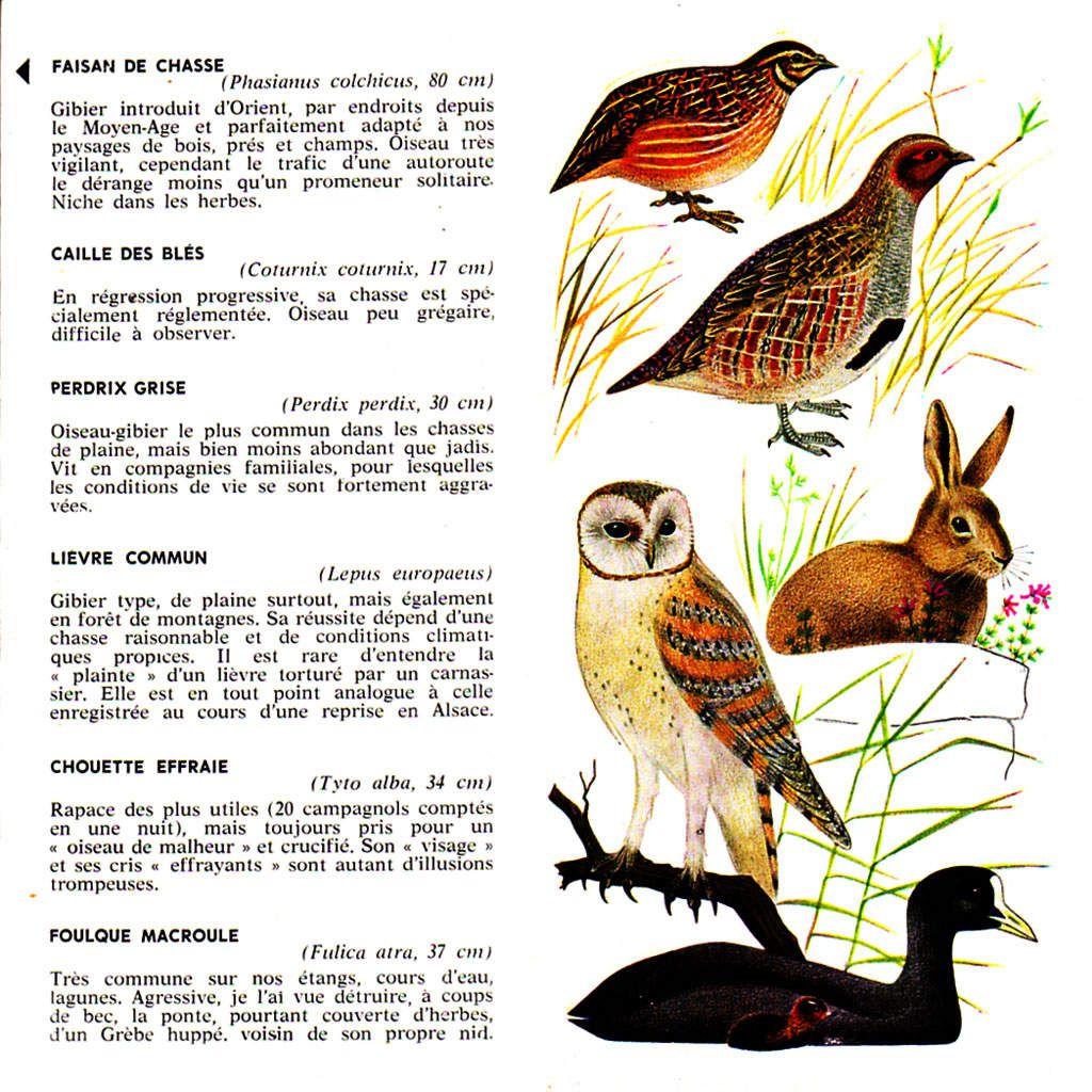 Oiseau voisin de la perdrix