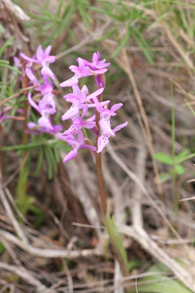 Orchidées de Provence (7) : Orchis olbiensis
