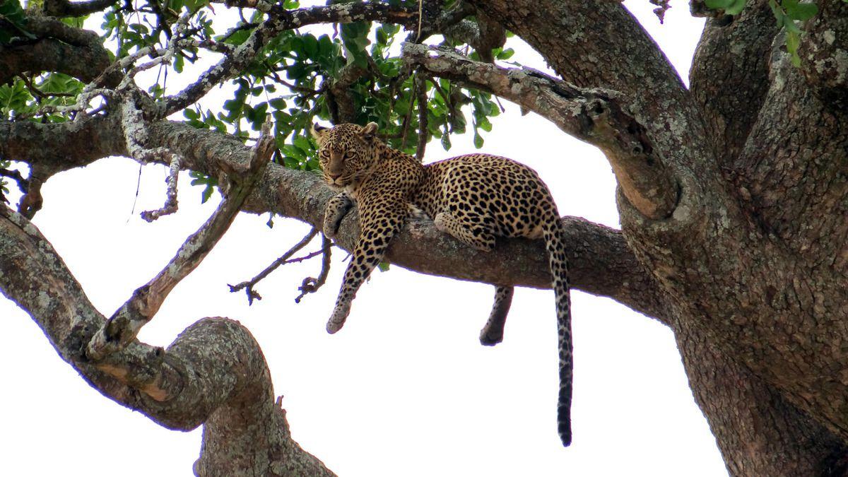 TANZANIE : félins