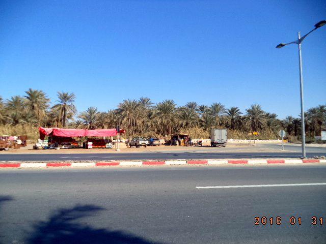Quelques photos prises ce matin du 31 1 2016 dans la palmeraie de Ouargla