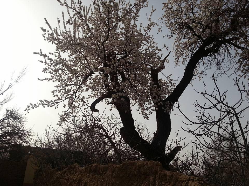 Merci à notre ami si Hadj Ahmed LAKHDARI pour ces belles photos des jardins de Tadjemout en fleurs , annonçant déjà le printemps .