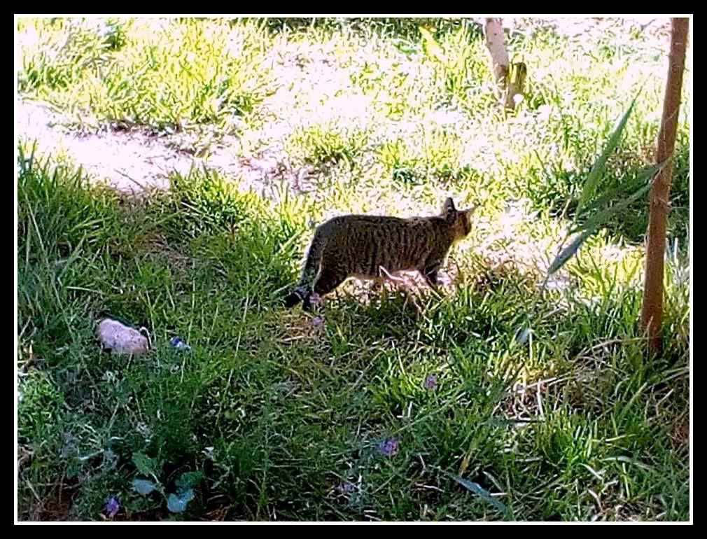 """un chat très mignon, surpris ce matin à profiter du printemps naissant , se vautrant sur l'herbe et s'abreuvant de l'eau conçue pour l'irrigation des plantes. Il ne s'est pas enfui   en me voyant l'approcher mais il a gardé un œil très méfiant à mon égard . On dit bien """"Méfiant et rusé comme un chat"""""""