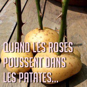 Bouturer les rosiers grâce aux pommes de terre
