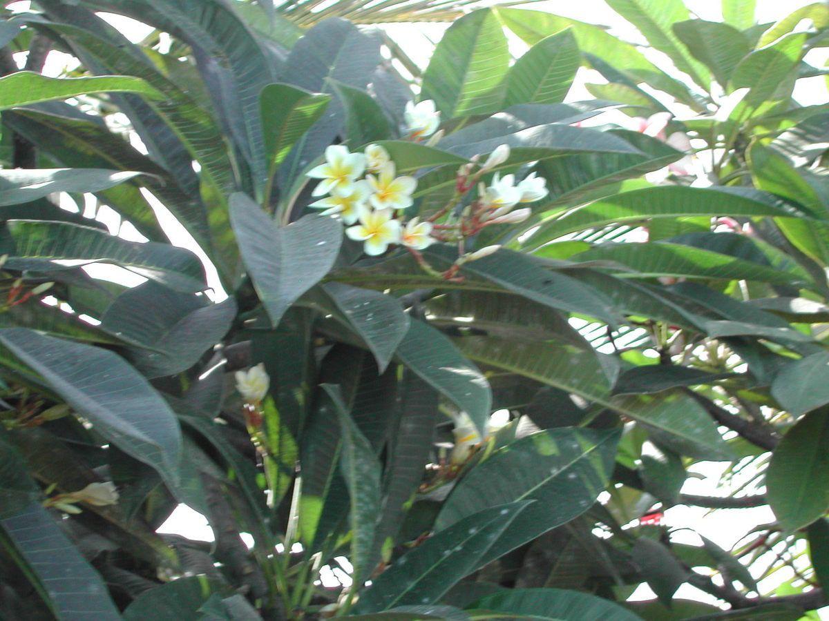 Le frangipanier apsamed plantes m dicinales et comestibles plantes de provence frangipanier for Fleurs et plantes