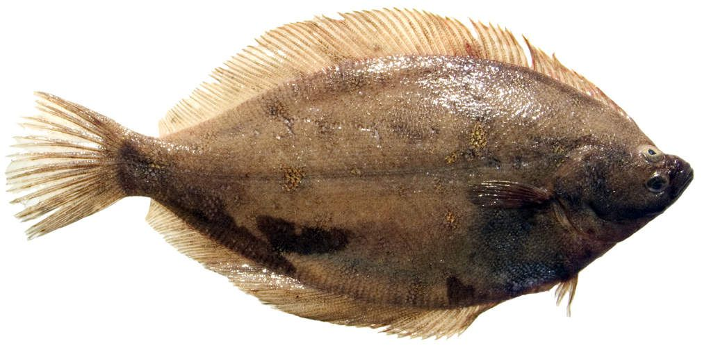 Le donneur de recettes adore les poissons droitiers comme les poissons gauchers et il n'en fait pas tout un plat