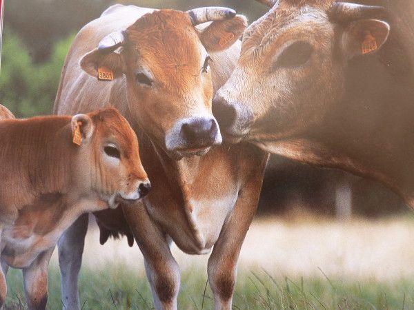 « Mon veau est garanti sans cochonneries, je peux vous regarder dans les yeux quand vous le dégustez. » Philippe Roucan éleveur dans le Tarn by Télérama