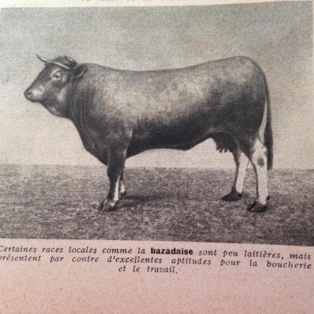 Cerise la Bazadaise à robe gris blaireau n'est pas 1 laitière mais une bouchère : le bœuf de Bazas, le vin de Duras et Caroline De Haas # non merci ha, ha…