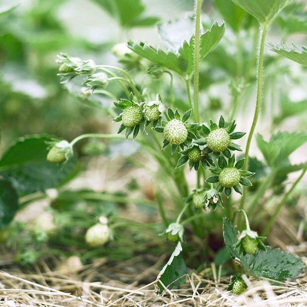 Mousse de fraises au mascarpone - recette facile
