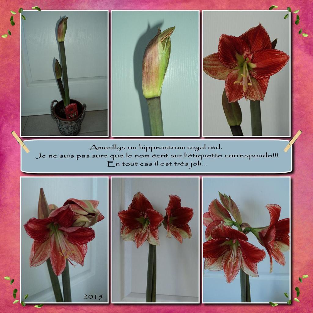 Ce superbe Amaryllis a eu 8 fleurs..