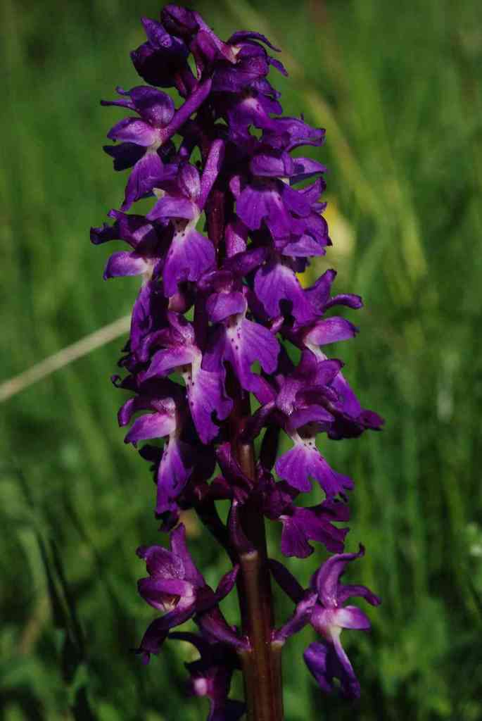 Orchis mâle (Orchis mascula). Photo : Roland Gissinger (ANAB)