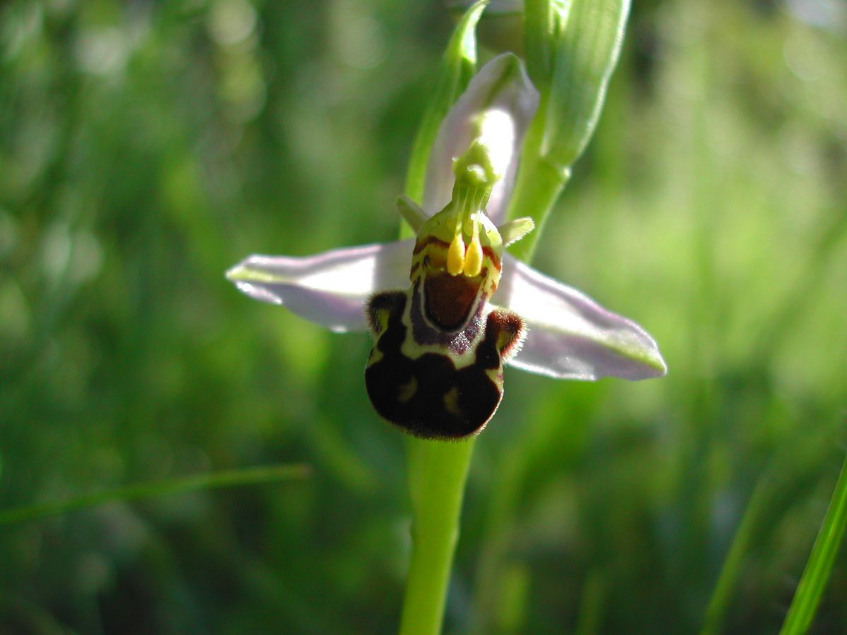 Ophrys apifera (Ophrys abeille). Photo : Roland Gissinger (ANAB)