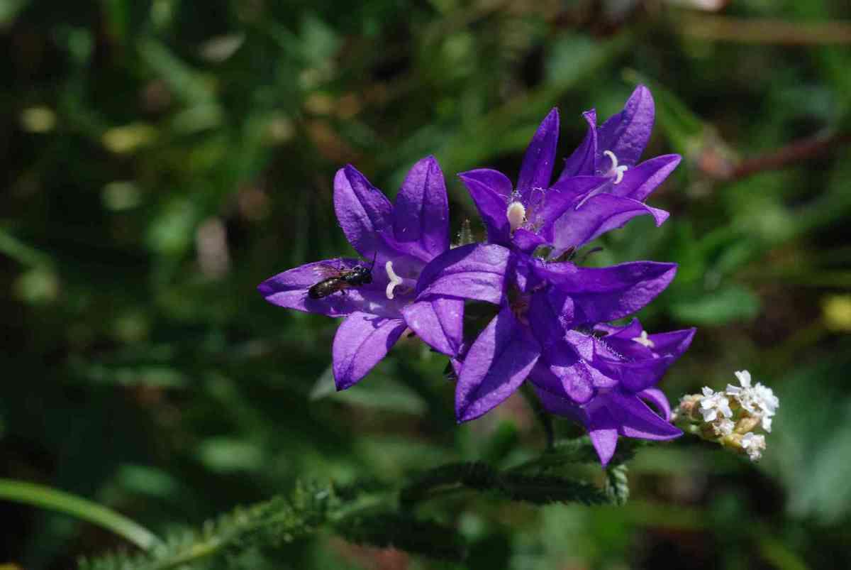 Campanule agglomérée ou campanule à fleurs agglomérées ou encore ganteline (Campanula glomerata)