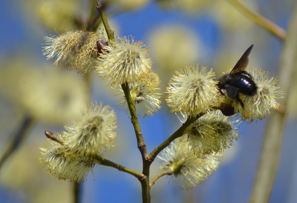 Xylocopa violacea -Abeille charpentière. Photo : Jean-Louis Schmitt (ANAB)