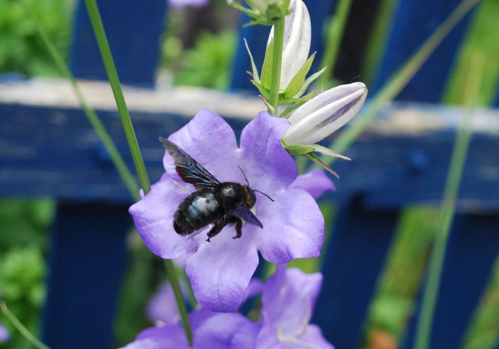 Abeille charpentière (Xylocopa violacea) Photos : Jean-Louis Schmitt (ANAB)